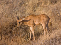 Young Gemsbok calf (Oryx)  african antelope  in the wild savanna. Wild young Gemsbok calf (oryx gazella) african antelope in dry grass and bushes of savannah Royalty Free Stock Images