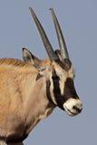 Young gemsbok oryx antelope, Kalahari Desert Stock Images
