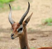 A Young Gerenuk Royalty Free Stock Photo