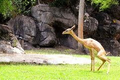 Young gerenuk female Stock Photography