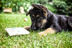 Young german shephard with children`s book. Young german shephard puppy playing with children`s book Royalty Free Stock Photos