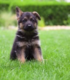 Young German Shepherd. On a green grass Royalty Free Stock Photo
