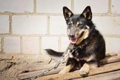Young german shepherd Royalty Free Stock Photo