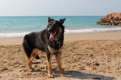 Young German Shepherd at the beach Stock Photography