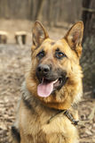 Young german shepherd close up portrait Royalty Free Stock Photo