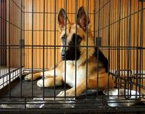 Young German Shepherd in crate. An 8-month old German Shepherd Dog puppy in crate.   Crates are useful in training puppies for housebreaking and good manners in Royalty Free Stock Images