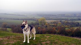 German Shepherd dog with ball in the English Countryside. Young German Shepherd dog with a ball standing on a hillside in England in Autumn royalty free stock photography