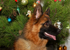 Young German Shepherd Dog in front of Christmas tree Stock Image