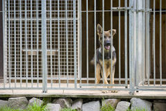 Young German Shepherd dog in kennel Stock Images