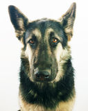 Young german shepherd dog Royalty Free Stock Image