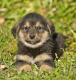 Young german shepherd dog. Stock Images