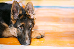 Young German Shepherd Dog Puppy Sitting On Wooden Floor. Alsatia Royalty Free Stock Photography
