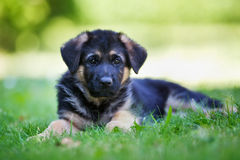 Young german shepherd dog Stock Photos