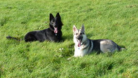 Young German Shepherd dogs in field. Two young German Shepherd Dogs relaxing yet alert in a field in the UK Stock Photo
