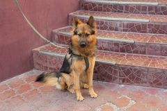 Young german shepherd on a leash expects hos. T. Pets stock images