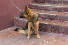 Young german shepherd on a leash expects host Royalty Free Stock Image