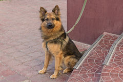 Young german shepherd on a leash expects host. Pets stock images