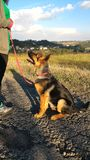Young German Shepherd. 6 month old, male Royalty Free Stock Photography