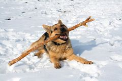 A young German shepherd is playing with a stick on the snow royalty free stock photography