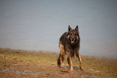German Shepherd on shore . royalty free stock images