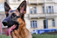 Young German Shepherd - portrait Stock Photography