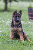 Young german shepherd portrait. On the grass Stock Photos