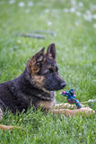 Young german shepherd portrait. On the grass Royalty Free Stock Images