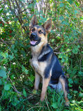 A young German shepherd sits next to a bush of red currant Stock Photography