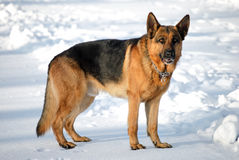 Young german shepherd Stock Photo