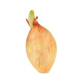Young germinated onion Royalty Free Stock Photo