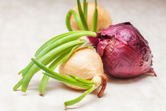 Young germinated onions Stock Images