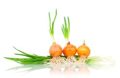Germinated onions Stock Photo