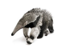 Young Giant Anteater against white background Stock Photo