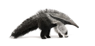 Young Giant Anteater against white background Stock Photography