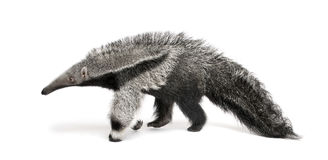 Young Giant Anteater against white background stock image