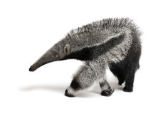 Young Giant Anteater against white background Royalty Free Stock Photography