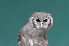 Young Giant eagle owl Stock Photography