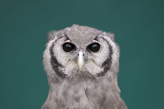 Young Giant eagle owl Stock Images