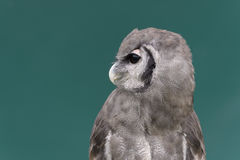 Young Giant eagle owl Royalty Free Stock Photo