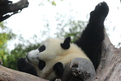 Young giant panda in China. A playful young giant panda is sleeping on the tree Royalty Free Stock Photos
