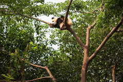 Young giant panda sleeping at the top of a tree Stock Photography