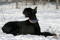 Portrait of a giant schnauzer in snow royalty free stock images