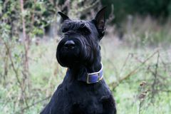 Portrait of a giant schnauzer royalty free stock image