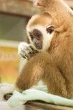 Young Gibbon on the branch Royalty Free Stock Photography