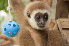 Young Gibbon on the branch Royalty Free Stock Images
