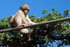 Young Gibraltar Ape. Sitting on a hand railing royalty free stock image