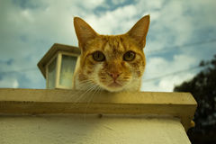 Young ginger cat. Climbed up on the roof and watching the situation Royalty Free Stock Photography