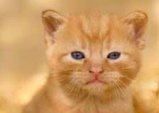 Young Ginger Kitten on Golden Background royalty free stock image