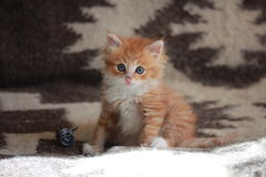 Young ginger Siberian cat. Royalty Free Stock Image