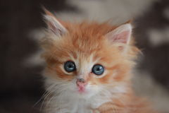 Young ginger Siberian cat. Stock Photography